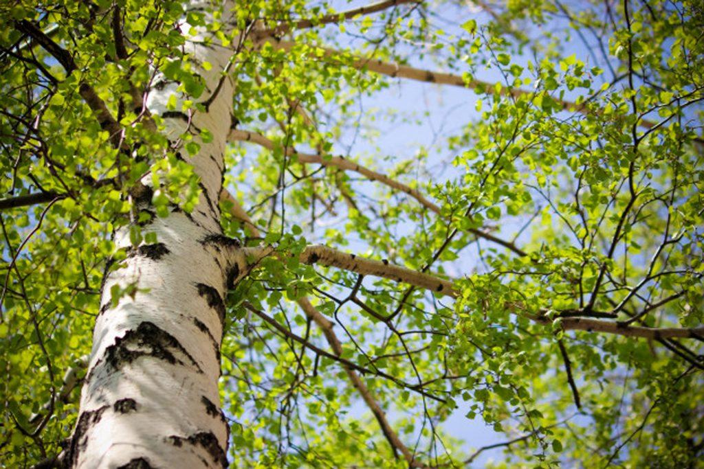 treesber- береза повисла